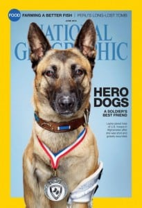 Layka, Military Working Dog, MWD, Layka, tripawd, amputee, Belgian Malinois