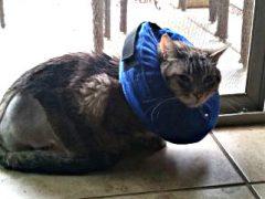 Tripawd Cat Fredo